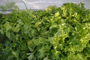 Salata de mai multe feluri, telina pentru frunze, marar, patrunjel...