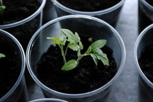 Plante repicate doua cate doua