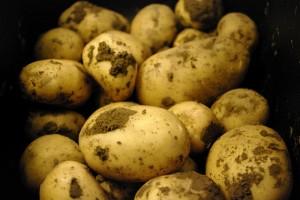 Primii cartofi din gradina noastra de anul trecut