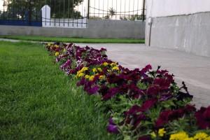 Petunii catifelate amestecate cu flori galbene