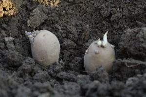 Cartofii incoltiti plantati in martie