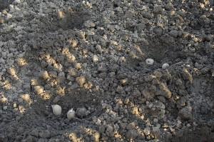 Gaurile pentru cartofi au 10 cm adancime, sunt la 30 cm una de alta, iar distanta dintre randuri este de 50 cm