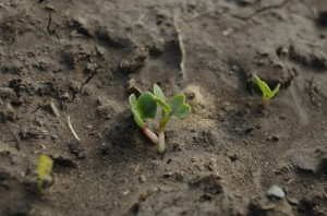 Ridichile plantate in urma cu o saptamana