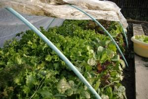 Salata pusa iarna in solar