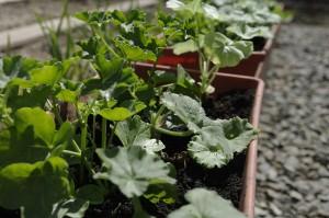 Jardinierele cu muscate le-am aranjat in gradina, ca sa nu fac pamant