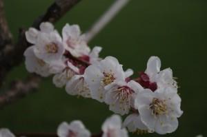 Flori aglomerate pe o crenguta