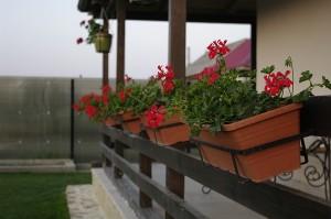 Jardiniere cu muscate pe terasa mea