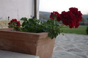 Muscata cu flori de catifea