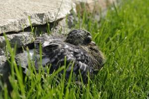 Prim-plan cu uratelul porumbel