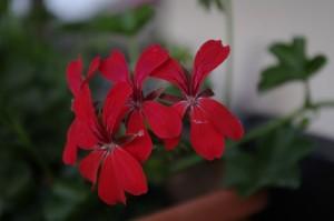 Vesela si prietenoasa, floarea de muscata
