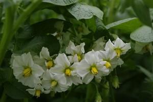 Un buchet de flori...de cartof