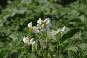 Florile de cartof atrag multe albinute