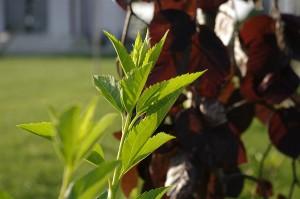 Frunzele negre ale Fagus pendula in spatele unei tufe verzi cu nume necunoscut