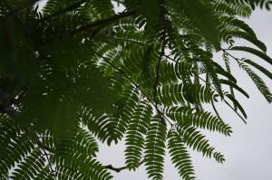 Frunzele cu aer exotic ale otetarului