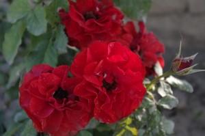 Trandafiri ciufuliti