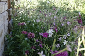Regina noptii, gladiole, carciumarese - semanate langa magazie si gradina de legume