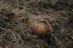 Cartoful cel mare