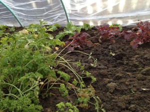 Salata rosie a rezistat bine iarna