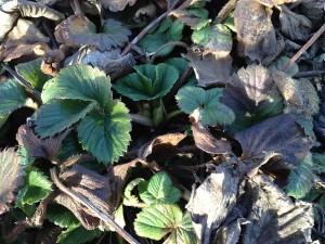 Capsunii nu si-au incetat vegetatia pe timpul iernii