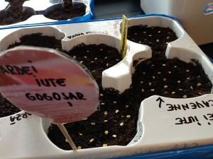 Semintele se vor acoperi apoi cu un strat subtire de pamant