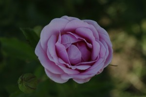 ...de miros suav de trandafiri...