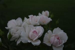 ...de roze...