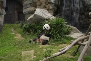 Ursii panda m-au lasat fara cuvinte. Spuneti si voi!