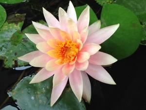 Floarea de lotus face si ea parte din cultura asiatica