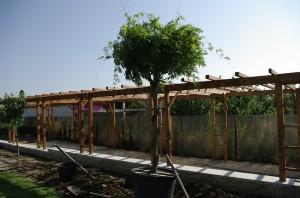 Visteria inainte de a fi plantata langa pergola