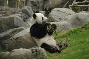 ... Si panda mancand