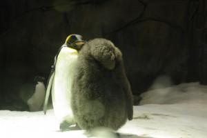 Pui pufos de pinguin imperial