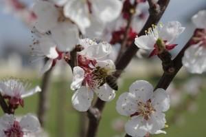 Albinutele cara saculeti grei de polen pe picioruse