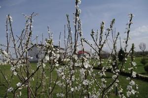 Corcodusul isi intinde bratele pline de flori spre soare