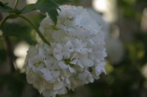 Zeci de fluturasi albi formeaza globurile pufoase