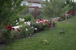 Stratul de roze strajuieste gradina de legume