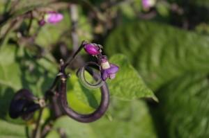 Fasolea violet