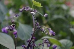 Micutele pastai de fasole mov cresc din mijlocul florilor