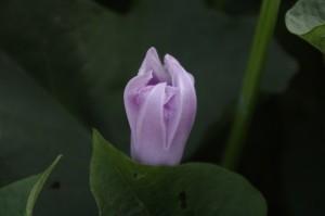 Boboc de floare de cartof dulce