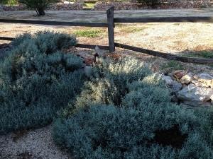 Plante mediteraneene pe meleaguri dobrogene