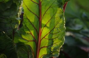 Soarele dupa-amiezii, prin frunza de sfecla