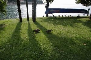Ratele salbatice se plimbau printre turisti