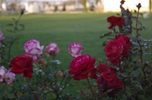Rosu si Roz