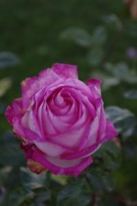 Trandafirii cu multe petale sunt preferatii mei