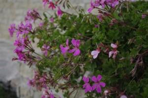 Jardinierele cu muscate isi revarsa florile peste terasa
