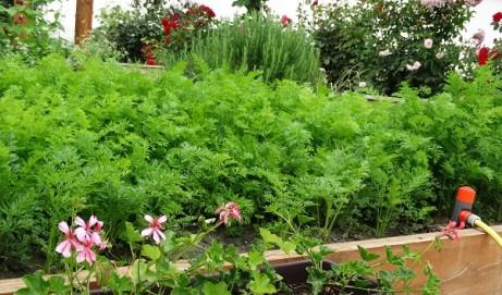 Gradina mea de legume – Vara 2014