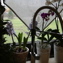 Florile de la fereastra