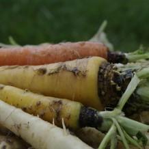 Stratul pentru morcovi